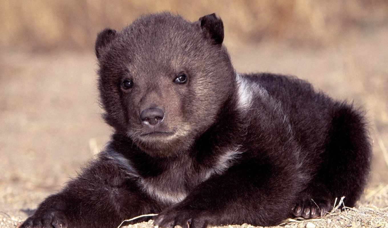 медведь, black,
