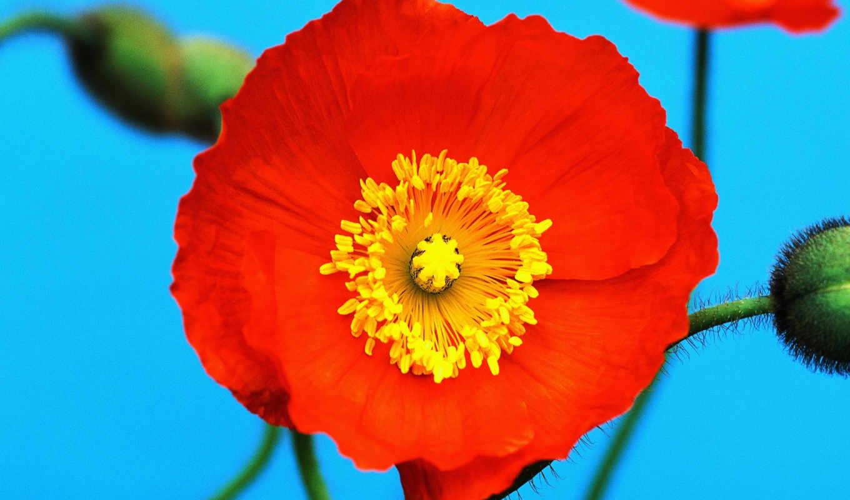 cvety, smartphone, красный, желтый, цветок,