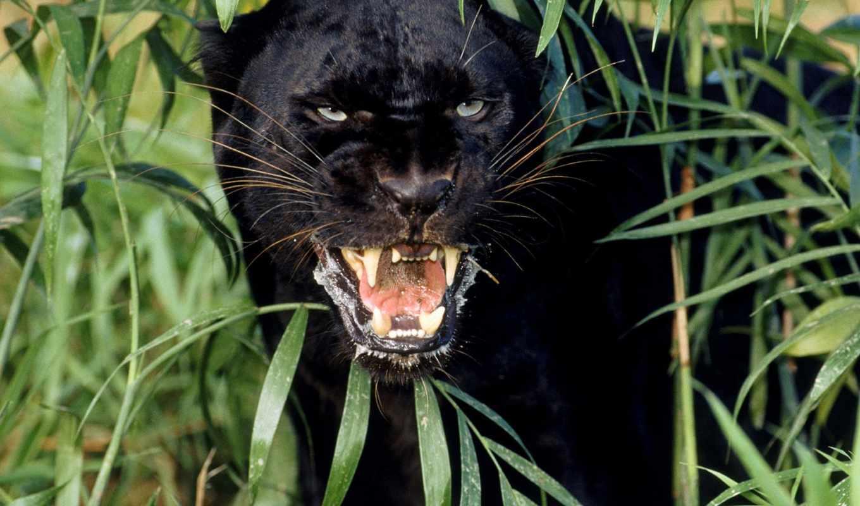 panther, черная, black, пантеры,