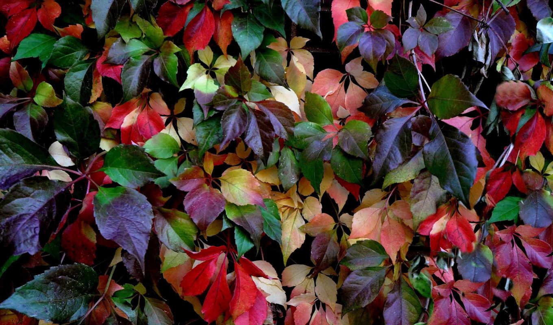 осень, кауни, природа, листья,, листья, colorful,,