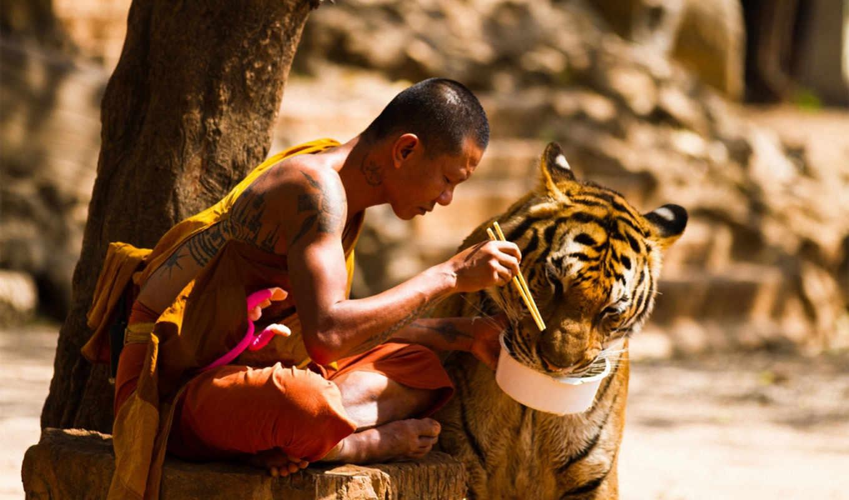 тигры, тигров, slave, бок, мужчина, ням, монастыре, году, за, браконьеров, обитель,