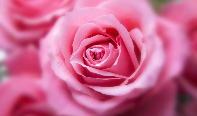 роза, цветы, world, самый, fond, flowers, ecran, roses, more,