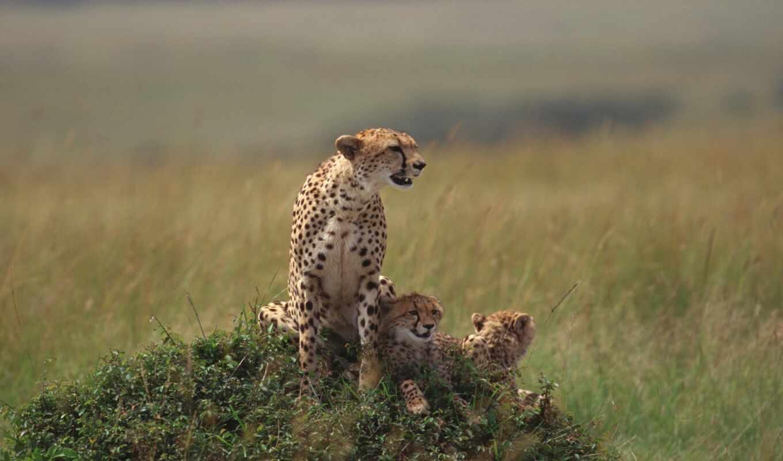 cuccioli, pinterest, animali, ди, zhivotnye, mamma, animal, www, ghepardo,