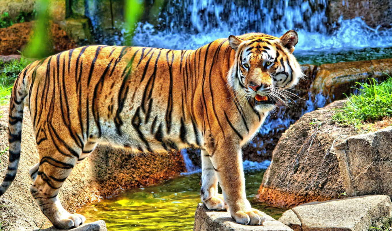 тигр, pictures, full, desktop, images, мире, amur,