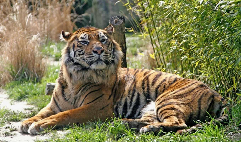 tiger, tigers, animals, wbg, heybetiyle, tablo, kaplan, yatan, image, images, kdv, wild, sumatran, animal, foreks, detayları, evidea, productimages, los, tl, göster,
