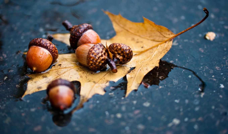 осень, лужа, вода, лес, листья, желудь, дуб, leaf, acorns, картинку, лист, дождь, картинка, кликните,