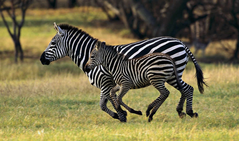 zebra, зебры, они, взгляд, бежит, зебр, очень,