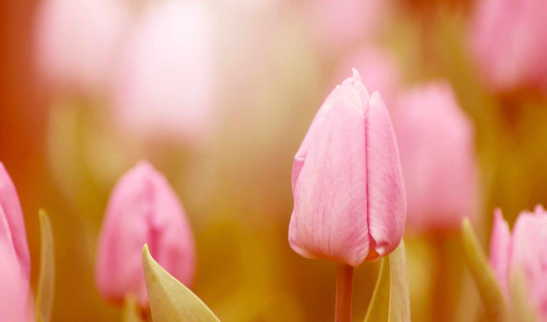 тюльпаны, розовые, цветы, тюльпан, лепестки,