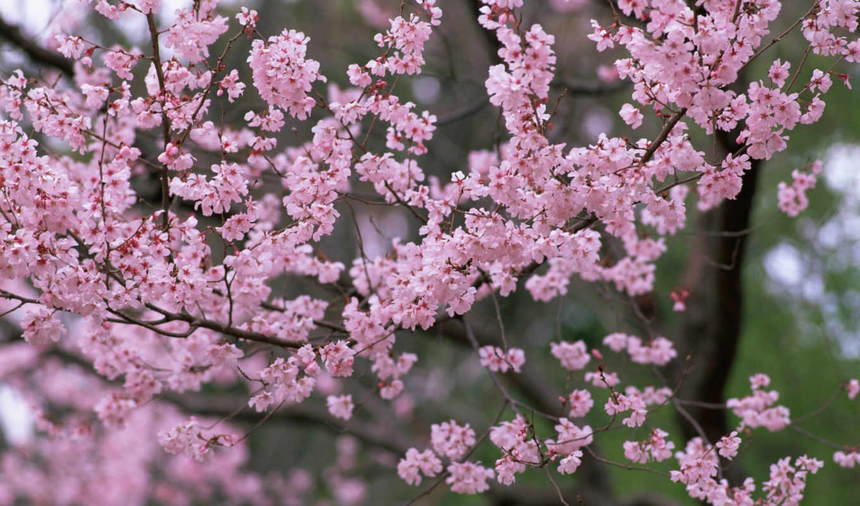 весна, природа, цветы, Сакура, деревья, цветение, лепестки, розовые, ветки,