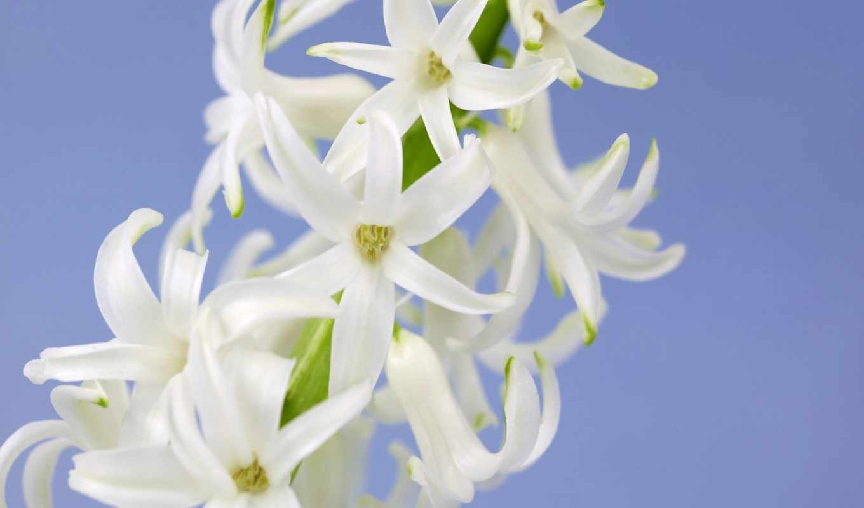 flowers, widescreen, desktop, цветы, white, web, source, pack, free, url,