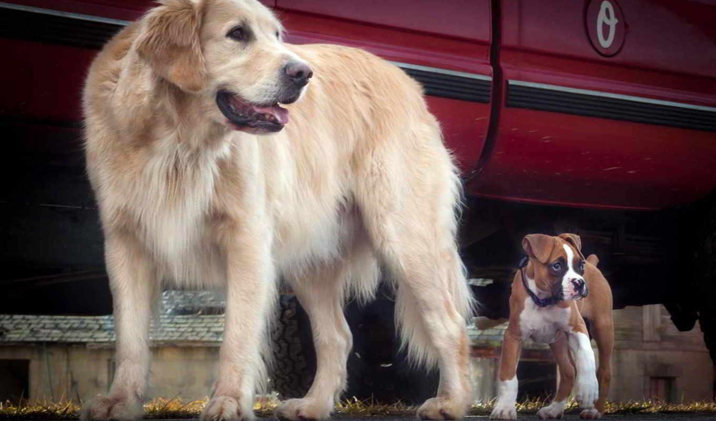 bokser, pies, psy, boksery, retriever, золотистый, dwa, obroża, głowa, szczeniak,
