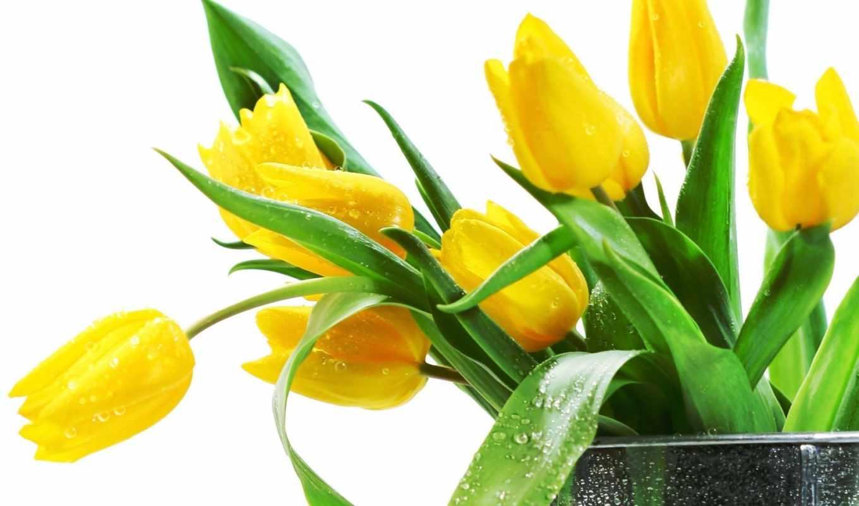 тюльпаны, цветы, красивые,