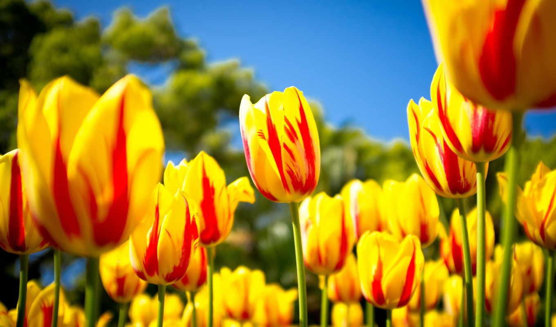 цветы, тюльпаны, summer, природа,