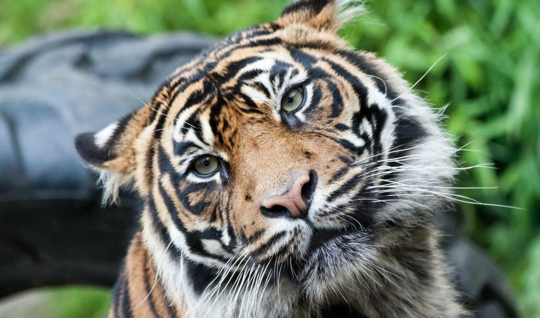 tigers, animals, vzglyad, тигры, тигр, дек, тигра,