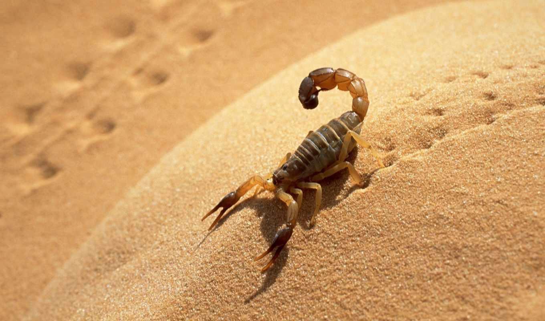животные, scorpion, пустыня, сахара, animal, песок, пустыне, deserts,