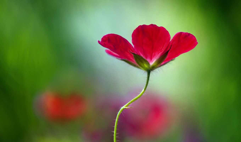 widescreen, цветы, широкоэкранные, фон,