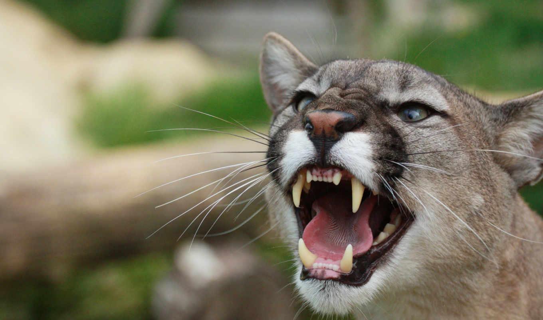 puma, cougar, lion, гора, оскал, пумы,