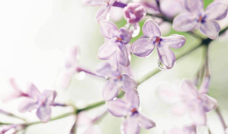 цветы, сирени, сиреневый, лиловые,