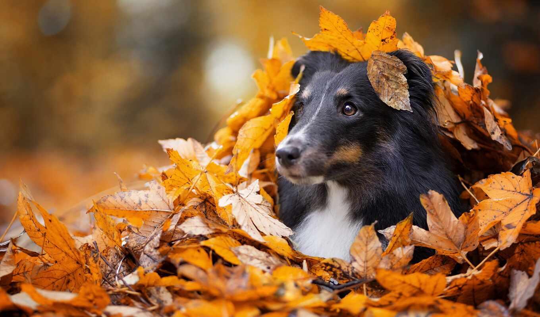 осень, собака, грусть, морда, лист, глаз, взгляд, side, park, щенок, leaf