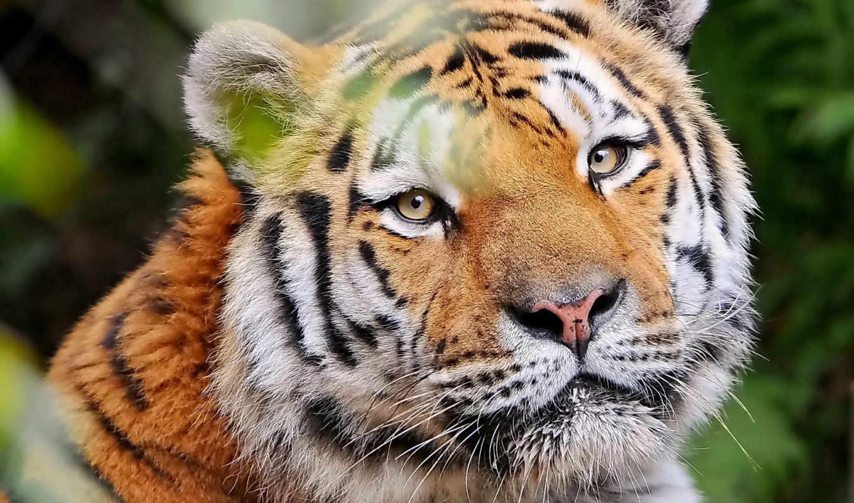 тигр, взгляд, морда, усы, довольный, картинка, картинку,