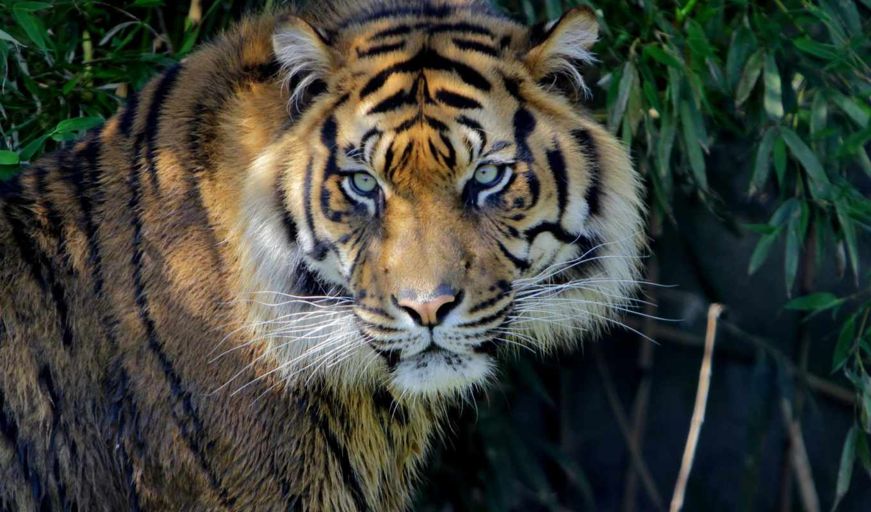 животные, тигры,