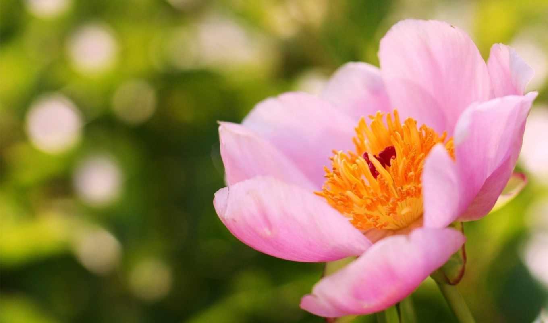 фокус, пион, лето, розовый, цветок,