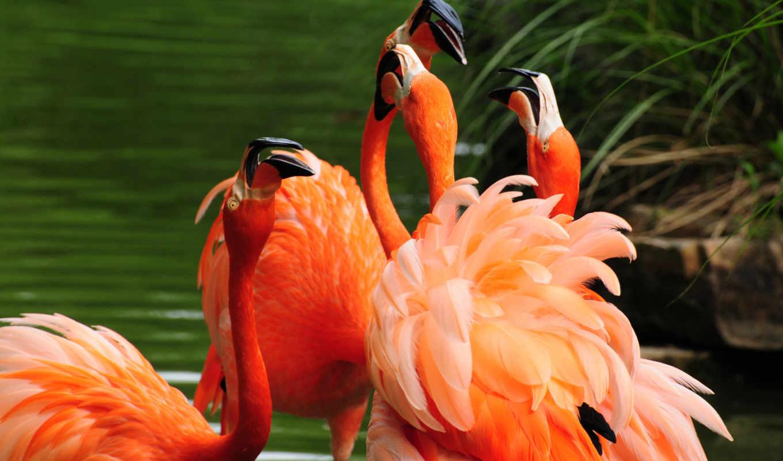 фламинго, птицы, множество,