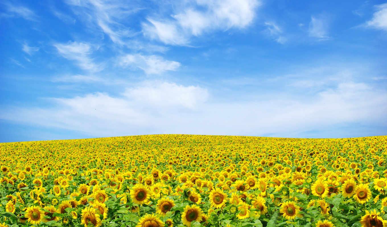 небо, подсолнухи, поле, oblaka, summer, природа,