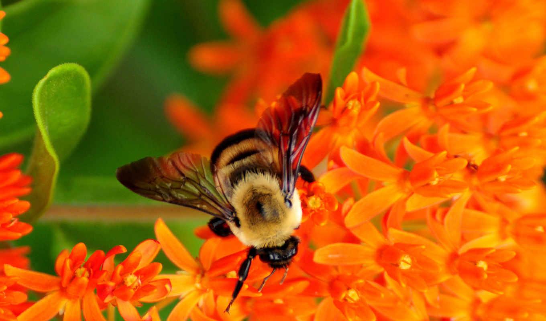 пчелы, flowers, пчелка, пчелы, они, их, bumble,