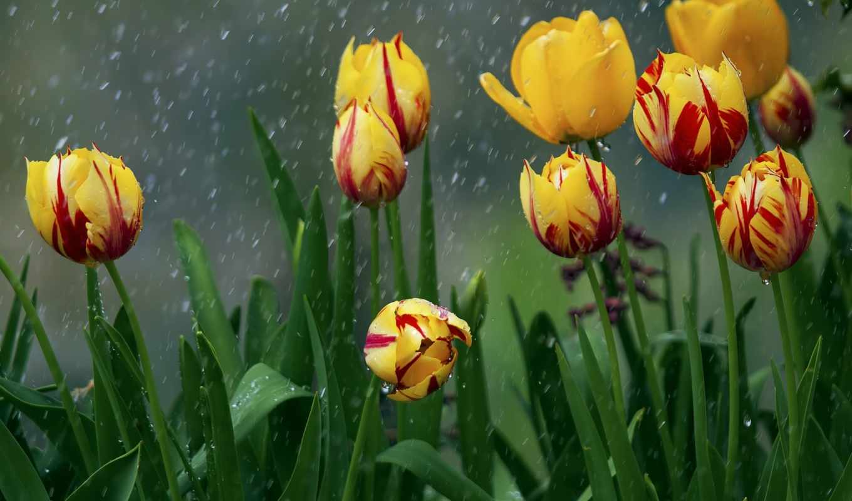 дождь, tulips, flowers, коллекция, wet, red