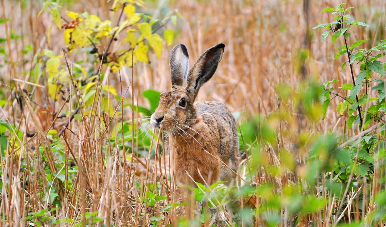 , заяц, природа,трава, серый,