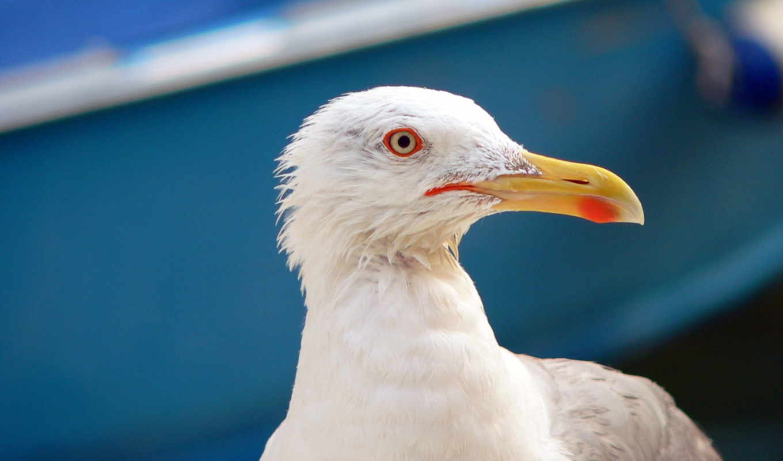seagull, глаза, flying, птица, desktop, пляж, closeup,