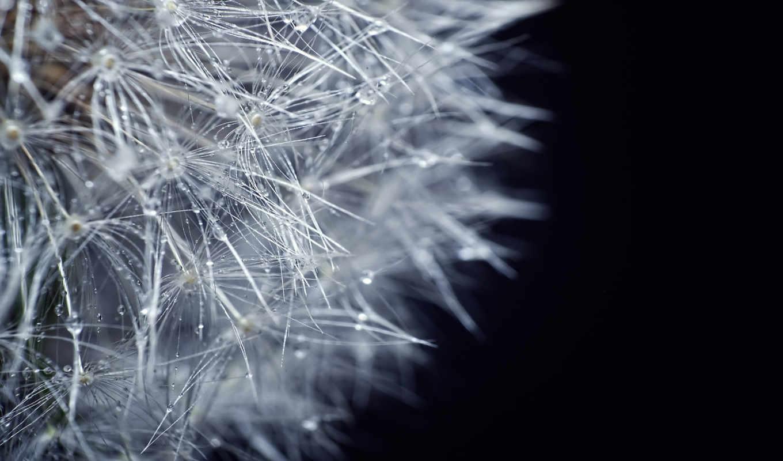 одуванчик, роса, цветы, природа, картинка, airena, капли,