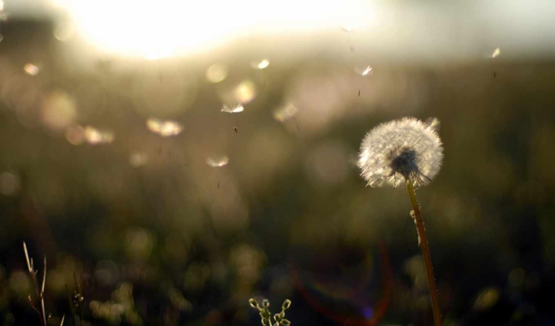 вечер, закат, поле, природа, растительность, одуванчик, пушинки, легкость,