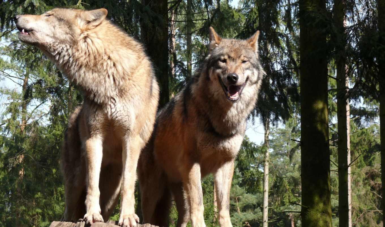 волк, два, волка, волки, one, когда, lupus, заставки, всей,