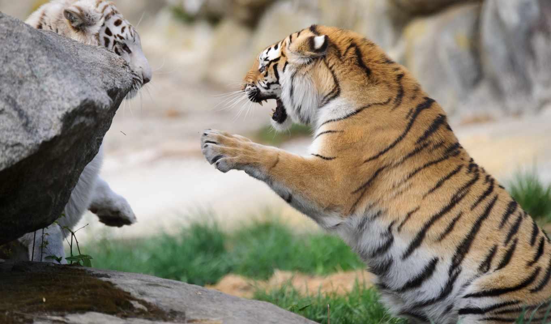 кошки, дикие, zhivotnye, пара, тигры, game,