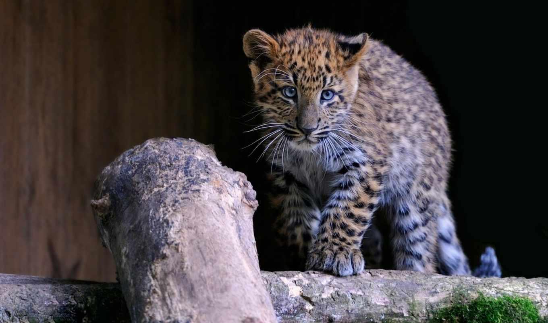 леопард, animal, детёныш, desktop, blue,