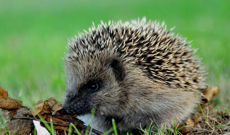 ежик, иголки, їжачок, колючий, колючки, трава, животные, картинка, листья, гб, код, осень,