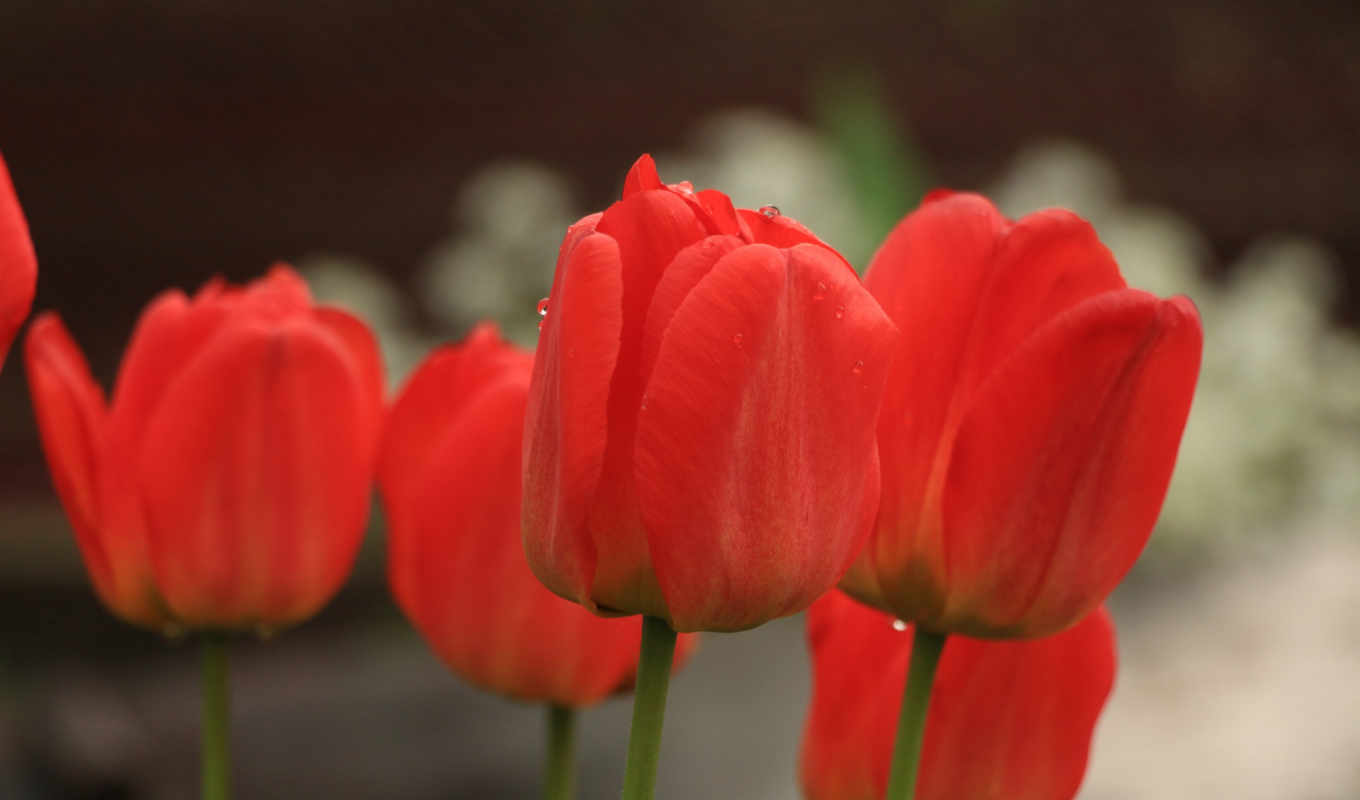 red, pictures, flowers, tulip, spring, tulips, цветы,