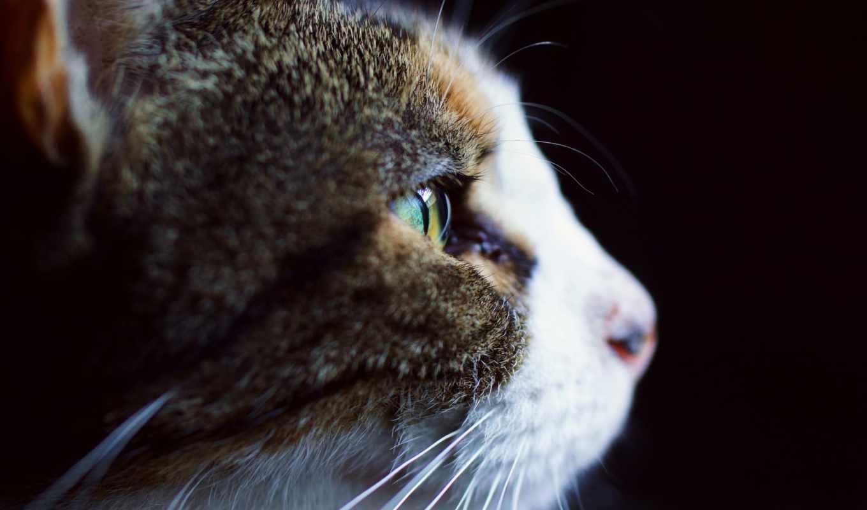 кошка, бело, profil, серая, kot, высоком,