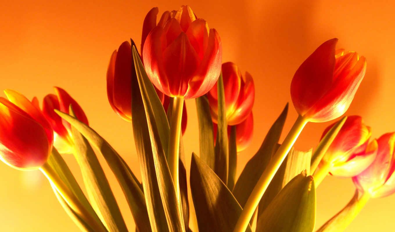 марта, тюльпаны, тюльпан, cvety, от,