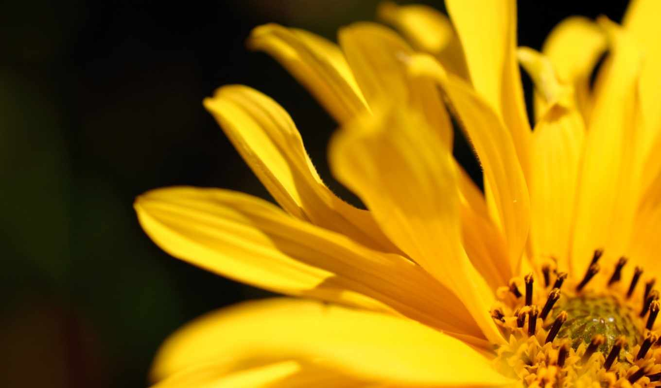 цветы, yellow, petals, resolution, desktop, flowers,