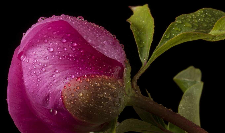 качестве, бутон, пион, розовый, хорошем, пионы, капли, цветы, страница, possible, установить,