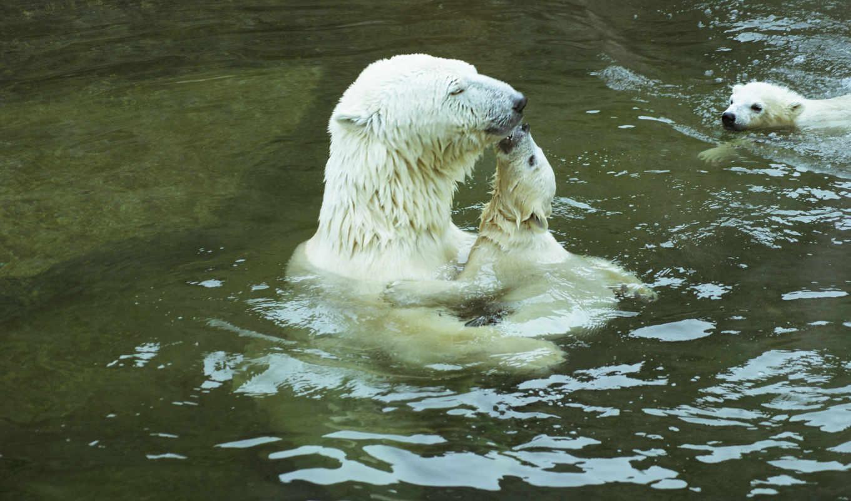 медведи, loading, zhivotnye, denigmo, белые, animals, нежность, снег, трава, water,