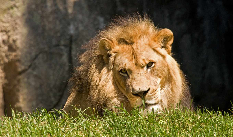 lions, von, животных, live, кошки, большие, страница,