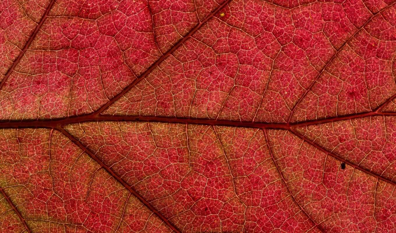 textura, листь, naturale, красный, red, leaf, natural, fondo, природа, ambiente, im-gene