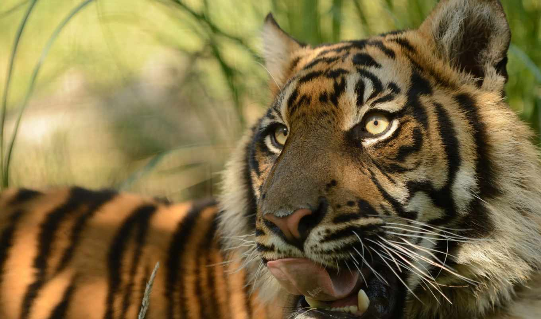 тигр, суматранский, tigers, хищник, морда, язык, animals, кошка,
