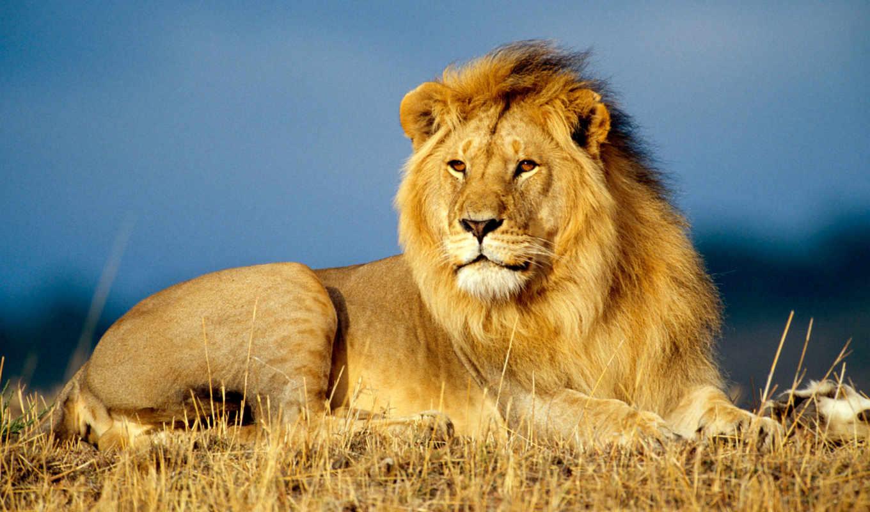 lion, african, more, free, зверей, грива, desktop,