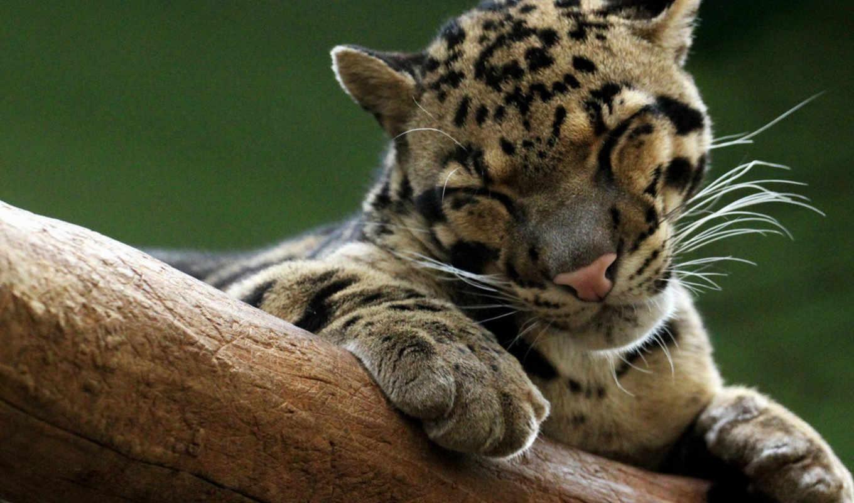 леопард, дымчатый, neofelis, страницу,