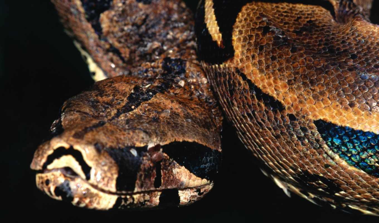 snake, фото, boa, фотообои, zhivotnye, собакоголовый, других, caninus, corallus, вопросы, разрешениях,